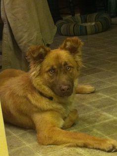 Golden Retriever Australian Shepherd Mix All time best dog ever!!!!