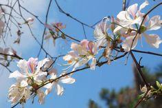 Bauhinien Blüte im März im Nordwesten - #AsiaticaReisen
