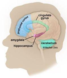 Brain Anatomy, Anatomy of the Human Brain Internal Carotid Artery, Vertebral Artery, Brain Science, Medical Science, Science Education, Physical Education, Brain Anatomy And Function, Head Anatomy, Skull Anatomy