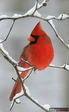 Cardinals, we have so many of these around our yard.