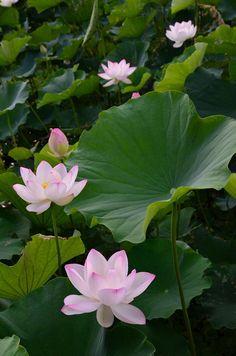 Buried in Flowers Water Lilies Painting, Lotus Painting, Lily Painting, Lotus Flower Pictures, Lotus Art, Lotus Pond, Lotus Leaves, Beautiful Flowers Wallpapers, Lily Pond