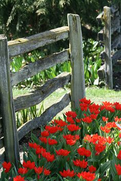 Tulips by the gate are so stunning!!  Have hope, one day everything will fall together perfectly!!