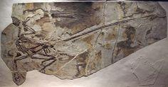 1280px-MicroraptorGui-PaleozoologicalMuseumOfChina-May23-08.jpg (1280×669) - Auteur : Captmondo, 2008.