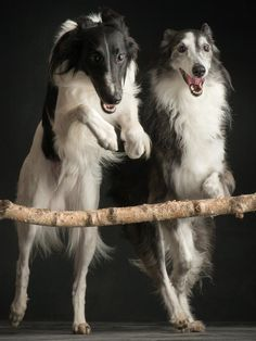 Silken Windhound by Paul Croes