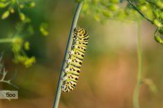 Swallowtail caterpillar by Yuri Liskevych on 500px