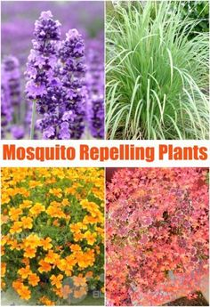 Pin for Later: Mosquito Repelling Plants