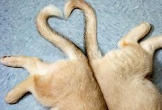 And they called it puppy (tail) love pug  <3 #cute #puppy #dog #tail #heart #animals #pets