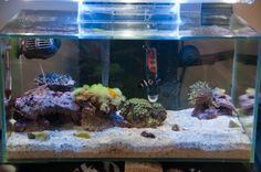 Fluval Edge marine conversion with clownfish