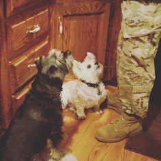 Just a little bite of your toast will do #mooch #dogsofinstagram #kcdogs #chorkie #schnauzermix