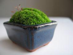 A little moss pot. finally I can convince my boyfriend that the tiny little cute bonsai pots aren't useless!