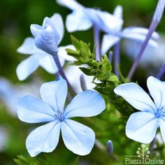 Plumbago Auriculata Dark Blue Flowers Spring And Summer Hedging Plants Flowering Shrubs