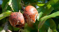 Az almafa betegségei elleni védekezés Eggplant, Onion, Vegetables, Food, Onions, Essen, Eggplants, Vegetable Recipes, Meals