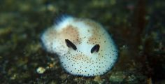 So, there are these incredible nudibranchs -- sea slugs -- that look like rabbits.  Sea Bunnies.