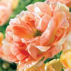 Orange Angelique - Double Peony Tulip - Fragrant - this is for next year!!!