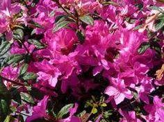 Azalea Autumn Amethyst  beautiful purple flowers