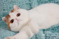 Snoopy Cat, Persian, Animals, Cat Breeds, Animales, Animaux, Persian People, Persian Cats, Animal