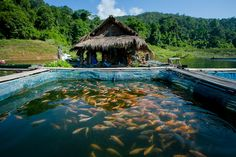 What is Sustainable Fish Farming? Tropical Aquarium, Aquarium Fish, Sustainable Farming, Sustainability, Farm Business, Business Ideas, Natural Ecosystem, Fish Farming, Fish Ponds