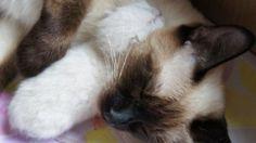 Siamese Cat And Little Kitten