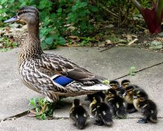 the college ducklings!