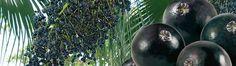 """Alla scoperta delle proprietà nutrizionali delle bacche di Acai, frutti originari dell'Amazzonia che fanno parte a pieno titolo della categoria dei cosiddetti """"supercibi"""", infatti hanno più antiossidanti di qualsiasi altra fonte conosciuta, hanno più proteine dell'uovo ma senza colesterolo, sono utili nelle diete dimagranti ecc, ecc... http://www.macrolibrarsi.it/speciali/scopri-le-proprieta-delle-bacche-di-acai-o-acai-berry-superfood.php?pn=3148"""