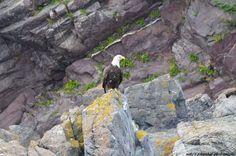 Bald Eagle, Bird, Photography, Animals, Animales, Animaux, Photograph, Birds, Fotografie