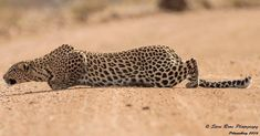 The Leopard Crawl - Pilanesberg National Park, South Africa. Big Cats, Cats And Kittens, Cute Cats, Beautiful Cats, Animals Beautiful, Beautiful Things, Wildlife Photography, Animal Photography, Animals And Pets