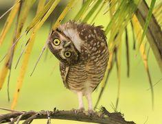 Burrowing Owl - Coruja Buraqueira - foi uma situação muito engraçada. Eu comecei a fotografar essa coruja e ela vôou pra mais perto de mim. Pousou numa palmeira baixa e começou a girar a cabeça 360º, até aí tudo bem, coruja faz isso mesmo; bom, já que ela queria amizade resolvi me aproximar mais e ela foi deixando, de repente ela ficou tão curiosa comigo que começou a girar a cabeça para os lados, lado esquerdo - lado direito, acho que pra ver se pegava outro ângulo; não parava de me…
