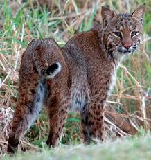Florida Bobcat - Wildlife In The State Of Florida: Photos Of Some Of The Most Common Wild Animals Seen In Florida Animals Beautiful, Cute Animals, Wild Animals, Crazy Cat Lady, Crazy Cats, St Cloud Fl, Birds In The Sky, Exotic Cats, Power Animal