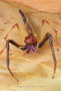 A bizarre spider from Singapore, photographed by my favorite macro photographer, Igor Siwanowicz.