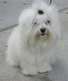 My next dog:) The Coton De Tulear