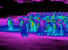 Emperor Penguins by newscientist. Image by A.M. Thierry: Thermal imaging of groups of penguins off of  East Antarctica where temperatures  can fall as low as -40 °C, and winds blow up to 40 m/sec reveal that the  surfaces of the penguins' bodies – shown as dark blue in the photo above – were colder than the sub-zero air around them. That suggests they have a freezing exterior and were losing almost no heat at all! #Penguins #Thermoregulation