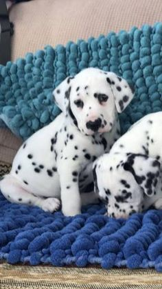 Dalmatian dogs for sale in United States, California, Los Angeles. You can also check our dog directory for more different dog breeds puppies for sale 618.