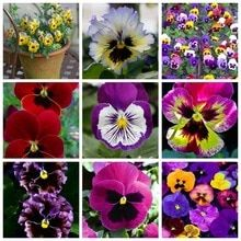 100 Pcs/Pack Mexican Imported Pansy Bonsai Wavy Viola Tricolor Pansy Flower Bonsai Potted Plant DIY Home & Garden Easy to Grow Orchid Seeds, Orchid Plants, Flower Seeds, Flower Pots, Pansy Flower, Potted Flowers, Perennial Flowering Plants, Blooming Plants, Palm Tree Plant