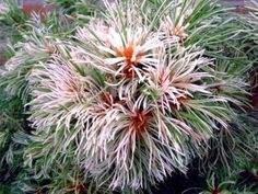 Pinus parviflora tani Mano uki 3'T 3'W