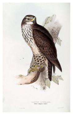 Birds. John Gould ornithologist and bird artist. SXIX