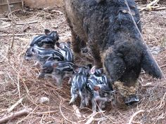 Mangalitza pigs