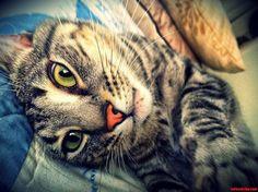 Tiger - http://cutecatshq.com/cats/tiger/