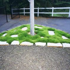 Irish Moss Seeds (Sagina Subulata) very popular type of plant which has a number of different uses !