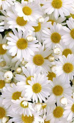 Daisy: