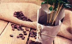 コーヒー豆と植木鉢