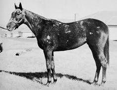 War Beauty b. 1937 (full sister of Spotted Beauty b. Horse Racing, Race Horses, Thoroughbred, Pony, War, History, Grey Horses, Descendants, Female