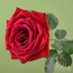 Rio Roses: Corazon