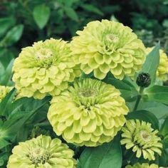 Zinnia Envy flower garden seeds
