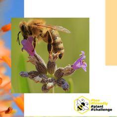 👉Czy znacie i lubicie internetowe challenge?😲 Kojarzycie akcje, jak Movember czy ALS Ice Bucket Challenge, które angażowały miliony i budowały świadomość problemów zdrowotnych czy społecznych? Teraz mamy dla Was propozycję zaangażowania się w pomoc ginącym pszczołom.🐝 W skrócie chodzi o to, aby w swoim ogrodzie, na tarasie lub balkonie zasadzić roślinę przyjazną pszczołom, zrobić zdjęcie albo film i opublikować go w swoich mediach społecznościowych z hashtagami #bee #friendly #plant.. Bee, Film, Animals, Movie, Honey Bees, Animales, Film Stock, Animaux, Bees