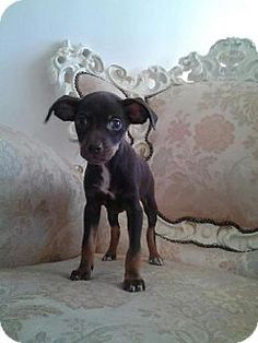 Edgewater, NJ - Dachshund/Chihuahua Mix. Meet Molly, a puppy for adoption. http://www.adoptapet.com/pet/11193097-edgewater-new-jersey-dachshund-mix