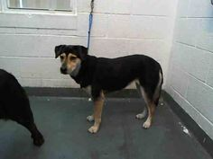 RESCUED --- JESSI (A1664641) I am a female tricolor Terrier.  The shelter staff think I am about 2 years old and I weigh 41 pounds.  I was found as a stray and I may be available for adoption on 12/11/2014. — hier: Miami Dade County Animal Services. https://www.facebook.com/urgentdogsofmiami/photos/pb.191859757515102.-2207520000.1417987781./884435211590883/?type=3&theater