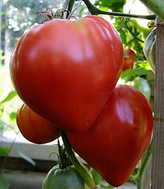 [Visit to Buy] 100 piece Seeds Beefsteak Tomato Volove Sertse Chervonyy - Bulls Heart Red Heirloom Fruit Seeds, Tomato Seeds, Tomato Vegetable, Tomato Plants, Cheap Trellis, Red Vegetables, Summer House Garden, Beefsteak Tomato, Red Plants