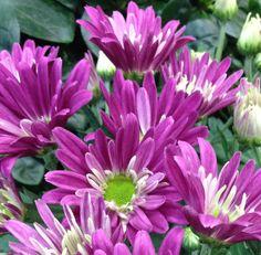 Potted plants with purple flowers @ freytags florist. Happy September Birthday! #september #birthflower