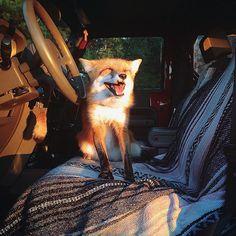 ¿Qué tan difícil puede ser criar a un zorro? - mott.pe
