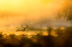 sunrise red deer stag at richmond park in london, UK , right where I used to live!     Ethereal........ by Grandpops Woodlice, via Flickr